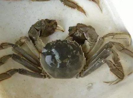 河蟹一壳脱壳非常重要,告诉你为什么重要?