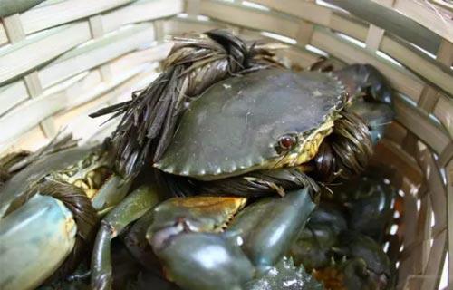 高温季节青蟹如何养殖管理