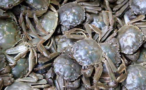 锯缘青蟹养殖