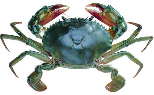 锯缘青蟹的作用及功效怎么做好吃如何挑选?