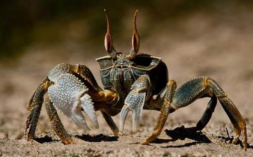 锯缘青蟹的养殖技术之池塘养殖技术
