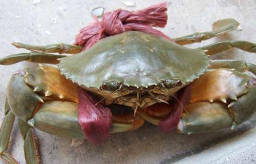 锯缘青蟹如何精养成红膏蟹及黄斑病防治